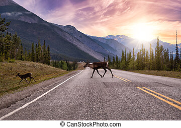 Cariboo family walking on a scenic road during a cloudy morning sunrise