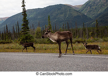 Cariboo family walking on a scenic road during a cloudy morning sunrise.