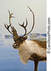 Caribou Closeup - Lone caribou during winter in northern...