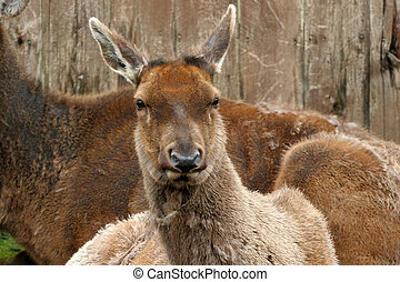 Caribou doe - A caribou doe looking at the camera, laying in...