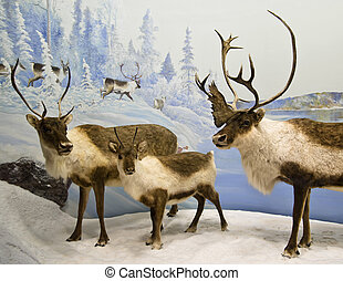 Caribou heard - A heard of caribou in the northern mountains...