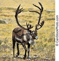Caribou in Velvet - Caribou with large rack of antlers in...