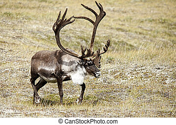 Caribou on Tundra Meadow - A solitary Caribou (Rangifer...