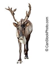 Caribou over white - Caribou (Rangifer tarandus). Isolated...