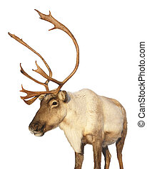 Caribou reindeer isolated looking at camera - Close-up on a ...