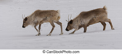 Caribou walking in pair in the snow