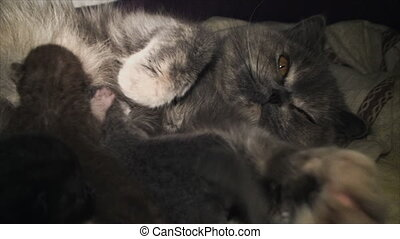 caring cat feeding kittens