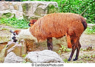 carino, animal-, lama.