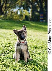 carino, pastore, curioso, cane, fuori, ritratto