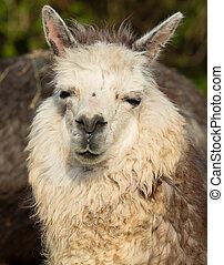 carino, smiley, alpaca, faccia animale