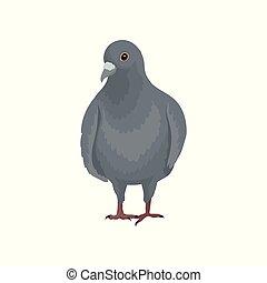 carino, urbano, piccione, grigio, uccello, fronte, vettore, fondo, illustrazioni, bianco, standing, vista