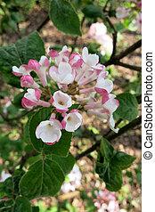 carlesii), viburnum, arrowwood, (viburnum, coreano, o, especia