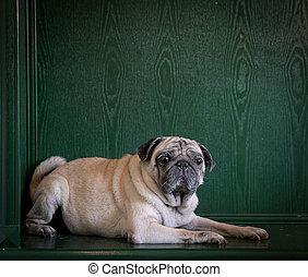 carlin, arrière-plan., portrait, chien, vert, copie, space.