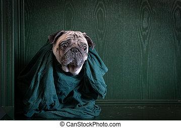 carlin, copie, chemise verte, chien, arrière-plan., space., portrait