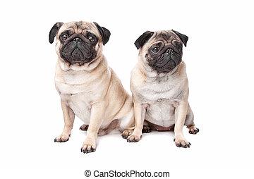 carlin, deux, chiens