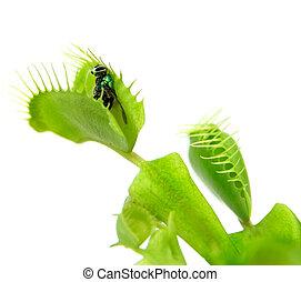 carnívoro, plant., flytrap