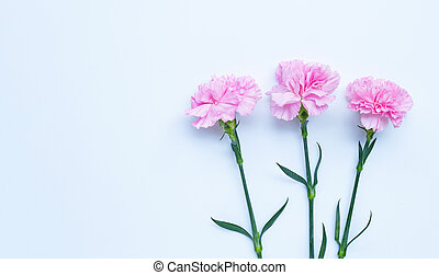 Carnation flower on white background.  Top view