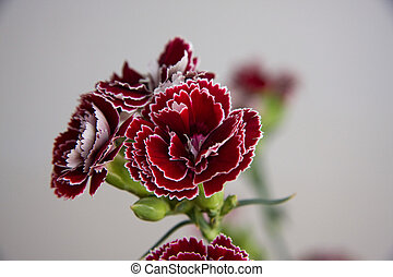 Carnation Flower - redish purple carnation flower