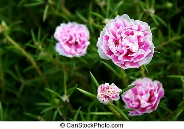 Carnation Flowers - Carnation flower in the garden