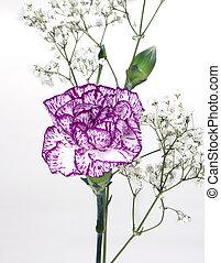 carnation front