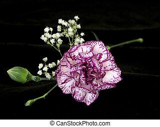 carnation on black