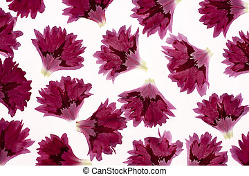 carnation petals - Studio Shot of Purple Colored Carnation...