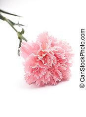 carnation, pink color