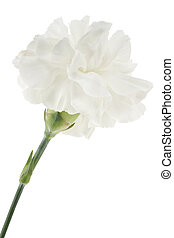 carnation - Studio Shot of White Colored Carnation Isolated...