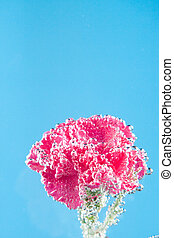 carnations flowers on a blue background