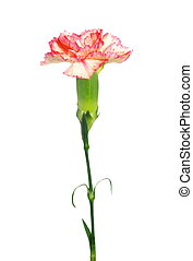 carnations isolated on white