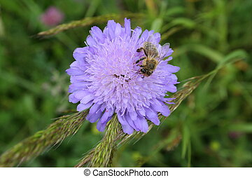 Carniola bee working hard - Carniola bee on a flower, with...