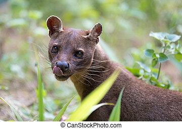 carnivorous mammal Fossa (Cryptoprocta ferox) - Fossa (...