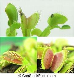 Carnivorous plant. Venus flytrap ( Dionaea muscipula ) -...