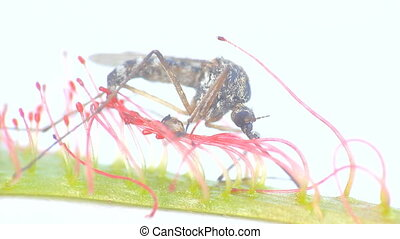 Carnivorous plants 2. Sundew grabbed mosquito with sticky...