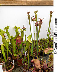 Carnivorous plants at the flower exhibition in Funchal, ...