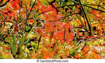 Carnivorous Shine. Colonies of sundew plants on high bog -...