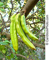 Carob tree - a bunch of carob tree fruit hanging from the...