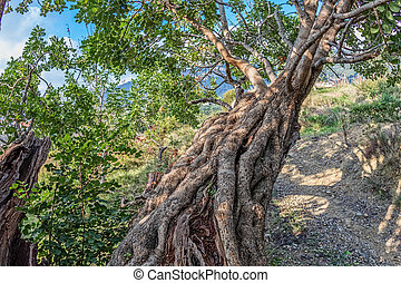 Carob tree branch - Branch of the very old carob tree in a...