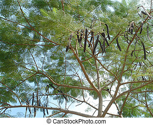 carob tree - detail of a carob tree seen in Thailand