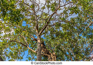 Carob tree treetop - Treetop of the very old carob tree in a...
