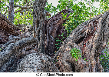 Carob tree trunk - Mighty trunk of the very old carob tree...