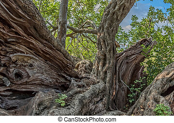 Carob tree trunk - Trunk of the very old carob tree in a...