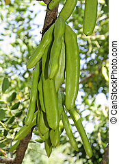 carobs - a branch of carob tree with unripe pods