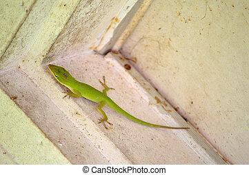 Carolina Anole (american anole, green anole) - Green...