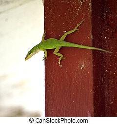 Carolina Anole (american anole, green anole) against red...