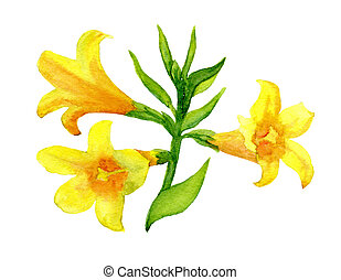 yellow jessamine - Carolina jasmine or yellow jessamine hand...