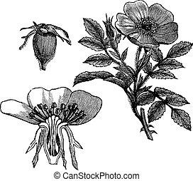 Carolina rose or Rosa carolina or Pasture rose or Low rose, vintage engraving. Old engraved illustration of Carolina rose with flower and fruit isolated on a white background.