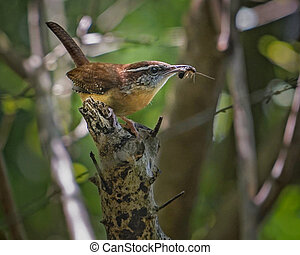 Mother Carolina Wren with insect in her beak rests on branch in spring woodland setting, closeup. State bird of South Carolina, they mate for life