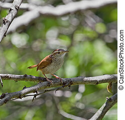Carolina wren perched on a tree branch