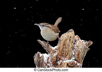Carolina Wren (Thryothorus ludovicianus) on a tree stump in snow with a black background